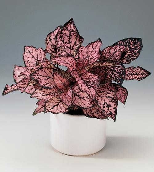confete-planta