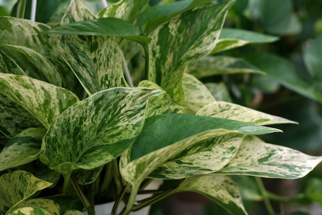 jiboia-planta